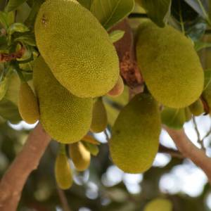 Plant-based Meat Alternatives: Jackfruit