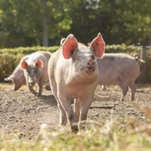 Vier het Weekend van het Varken bij vijfsterren-varkensboer in Eindhoven